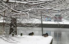 Snowbound Ducks
