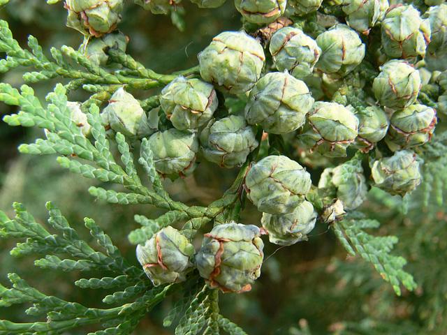 Früchte des Lebensbaumes
