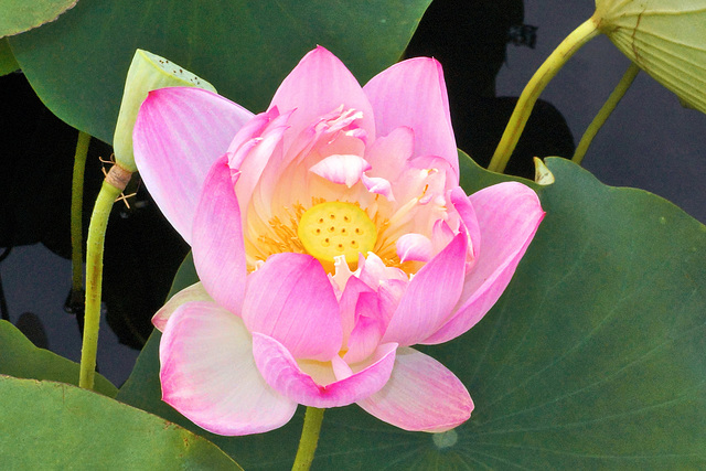 Sacred Lotus Flower – New York Botanical Garden, New York, New York