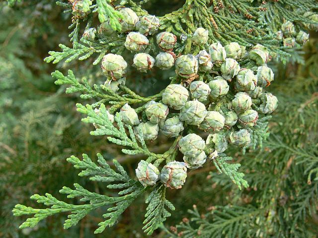 Früchte am Lebensbaum