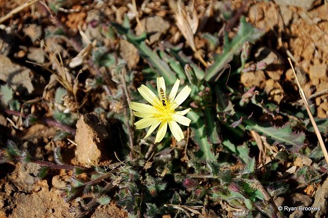 20090228-0437 Launaea procumbens (Roxb.) Ramayya & Rajagopal