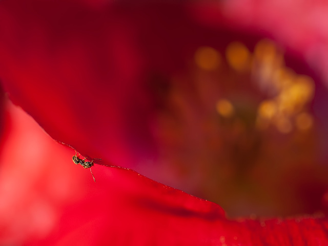 Pollinated Ant on a Poppy Petal!