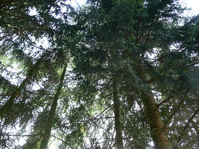 Blick in den Bäumehimmel