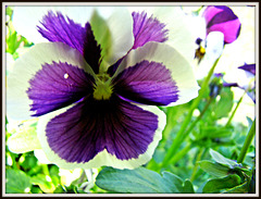 Attractive pansy flower