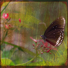 sugarcoated butterfly