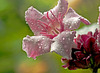 Climbing Oleander