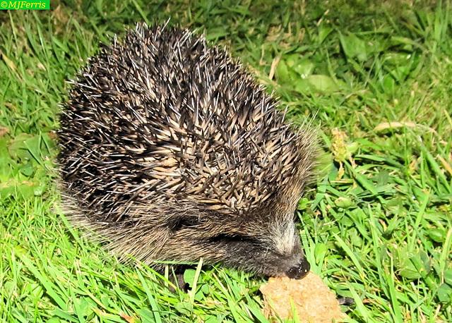 03 hedgehog