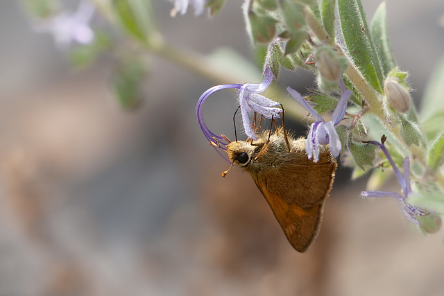 Skipper Drinking Nectar and Getting Pollen Brushed onto its Head!
