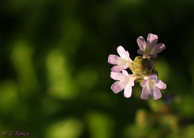 Patio Life: Vervain