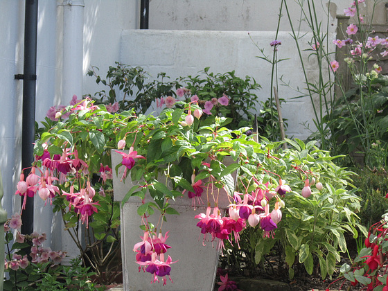 Lovely container full of fuschias