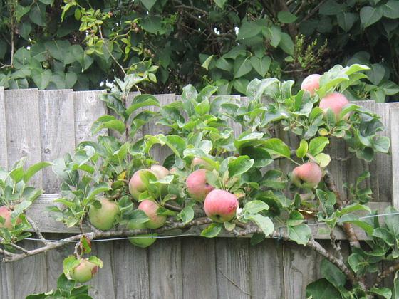 Large apples on Ann's apple tree