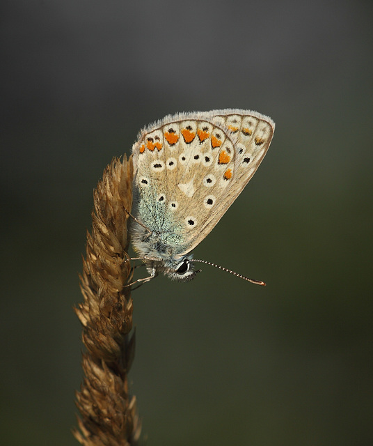 Common Blue (Polyommatus icarus) butterfly