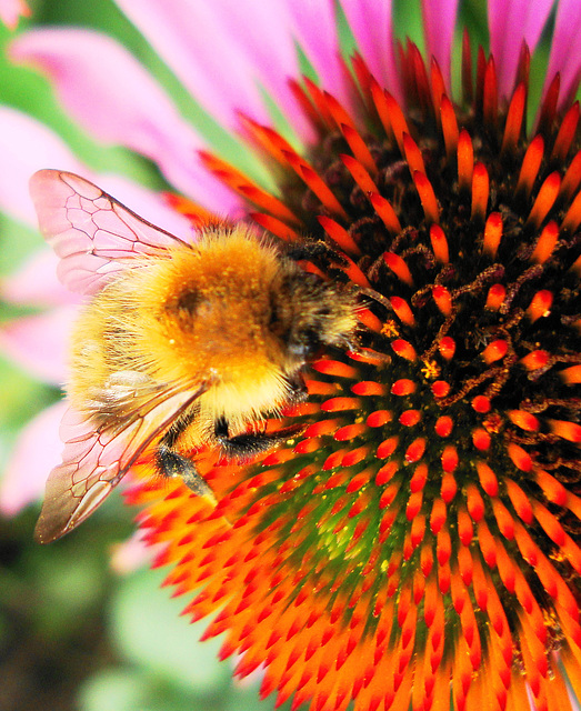 Bee on cone flower