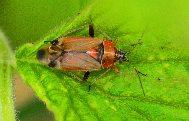 Harpocera thoracica....female