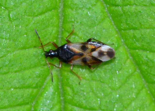 Common flower bug. Anthocoris nemorum