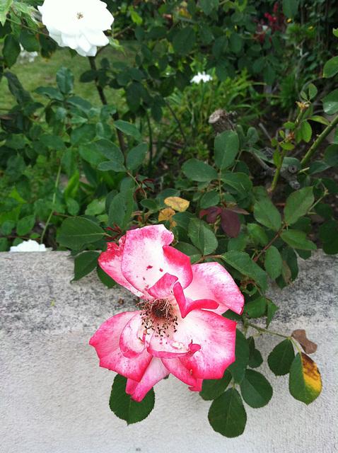 Flowers in my neighborhood 1
