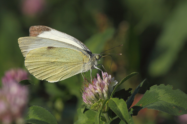 Large White (Pieris brassicae) butterfly