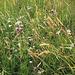 somera herbejo (Sommerwiese)