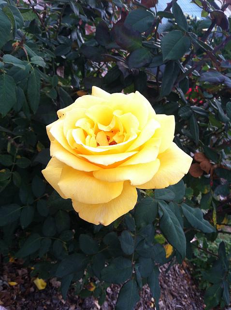 Flowers in my neighborhood 4