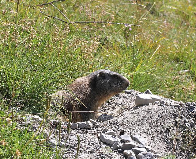 Une marmotte inquiète