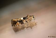 Eudemis profundana - Diamond-back Marble