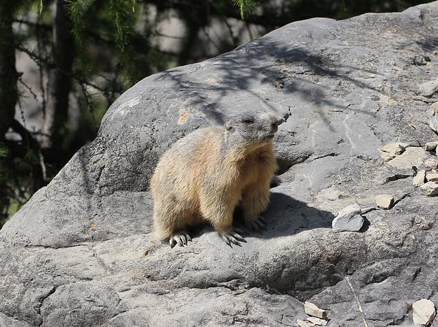 Une marmotte au bord du chemin