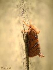 Orange Swift Hepialus sylvina