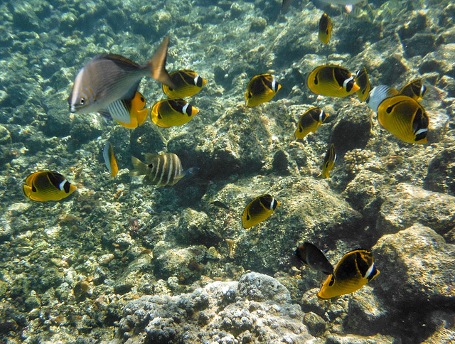 Mostly butterfly fish with unicorn fish at left