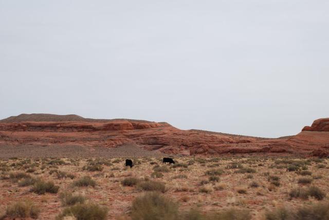 More Steers