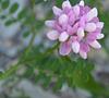 Fleur de luzerne