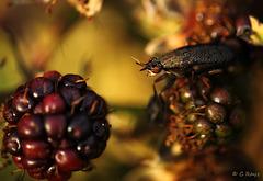 Snail-killing Fly Coremacera marginata-2