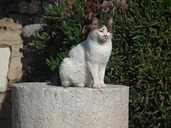 One of the many cats at Ephesus