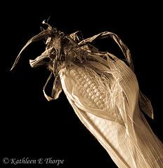 Antique Ear of Corn 082113
