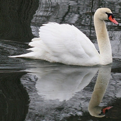 Solitary Swan in the Winter