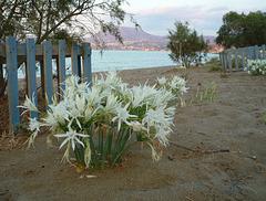 Sea Daffodils