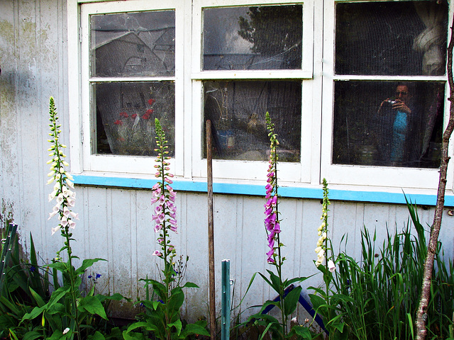 Foxgloves in front of window reflection