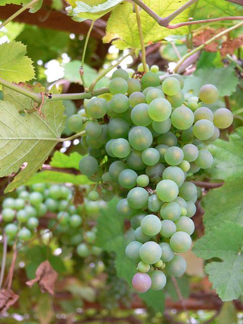 Weintrauben - Marke Eigenbau