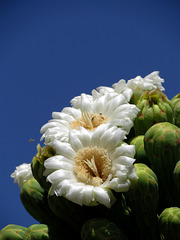 Saguaro Flowers