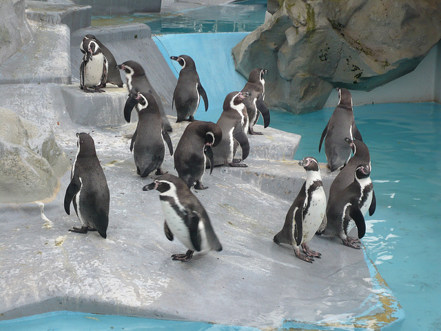 Die Pinguine im Kölner Zoo