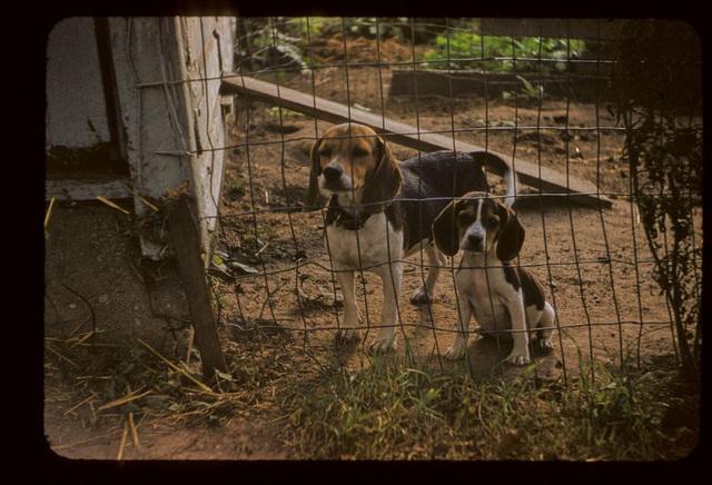 Barnyard Beagles
