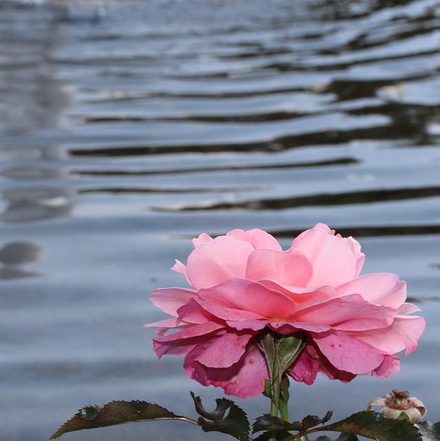the roses dream of the ocean