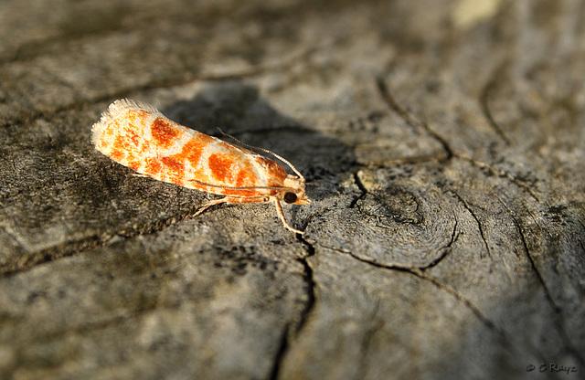 Rhyacionia pinicolana