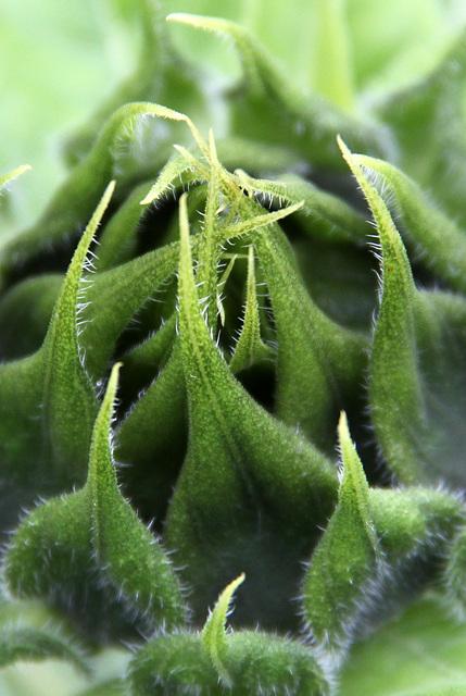 Coeur de tournesol (avant floraison)
