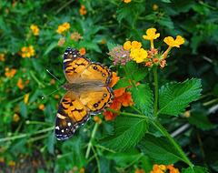 American Lady butterfly on Lantana