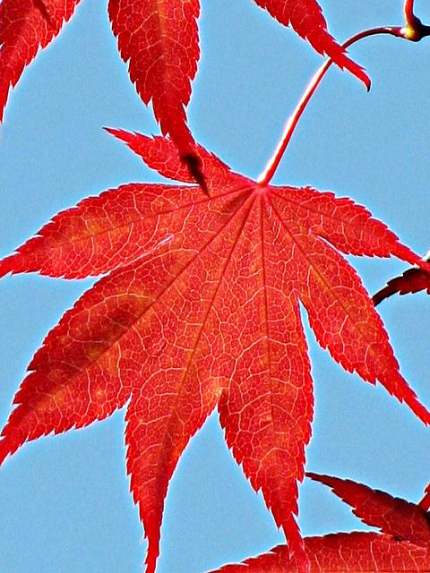 Bloodgood Maple