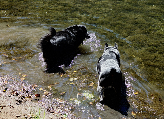 Unleashed ! Flicka & Lucas playing in the Traventine Creek 24-9-13