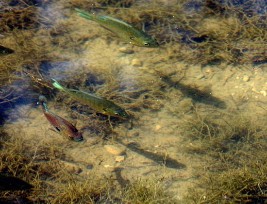 16 Fish in the Traventine Creek 24-9-13