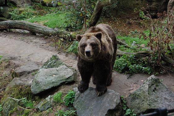 "Griza urso: ""Nu, fotu!"" (Grizzly-Bär: ""Na, fotografiere!"")"