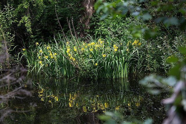 20140520 3498VRAw [D~DU] Sumpf-Schertlilie (Iris pseudacorus), 6-Seenplatte, DU-Wedau