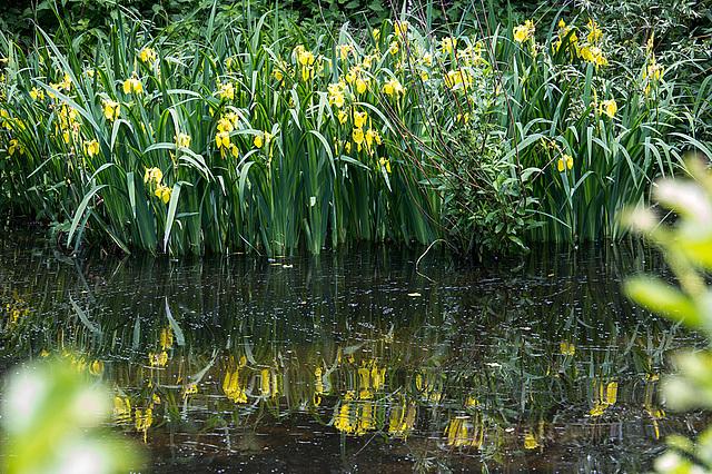 20140520 3497VRAw [D~DU] Sumpf-Schwertlilie (Iris pseudacorus), 6-Seenplatte, DU-Wedau